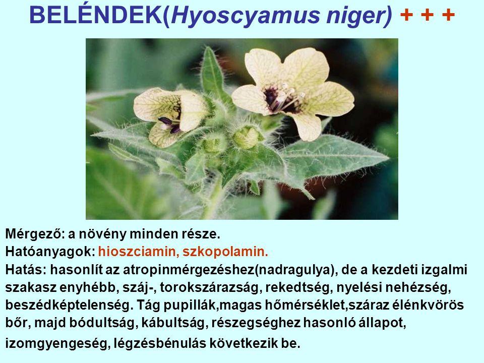 BELÉNDEK(Hyoscyamus niger) + + +