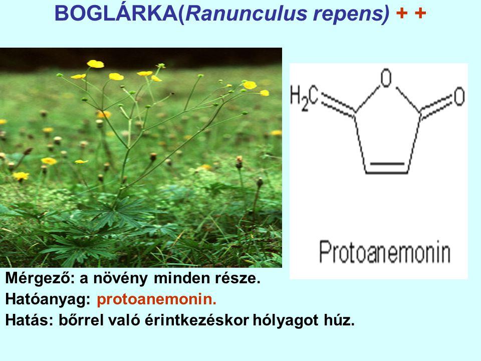 BOGLÁRKA(Ranunculus repens) + +