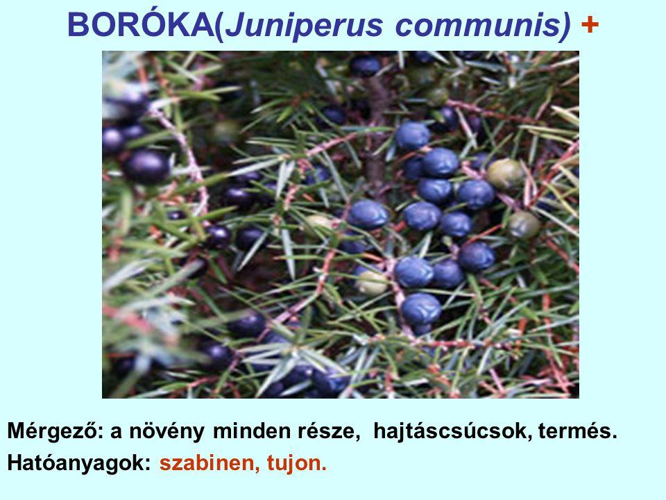 BORÓKA(Juniperus communis) +