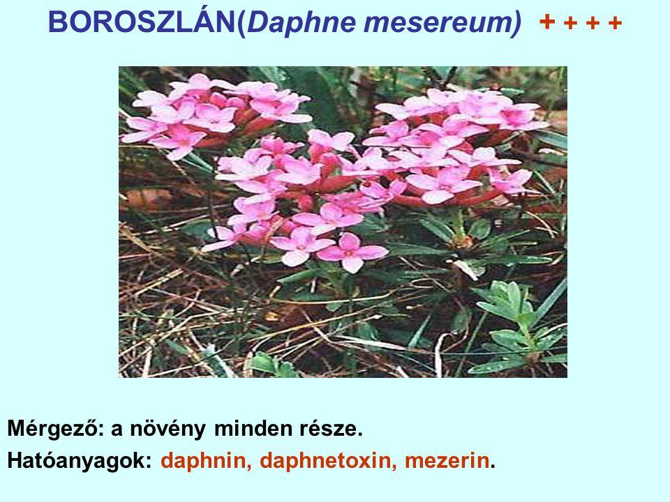 BOROSZLÁN(Daphne mesereum) + + + +