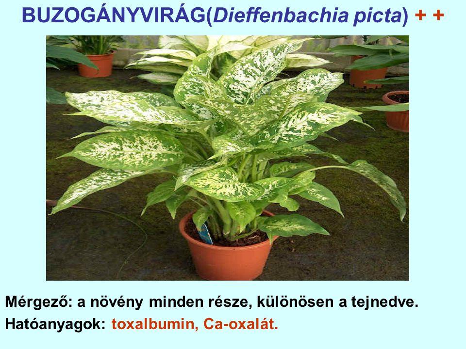 BUZOGÁNYVIRÁG(Dieffenbachia picta) + +