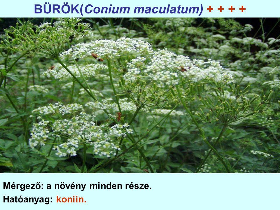 BÜRÖK(Conium maculatum) + + + +