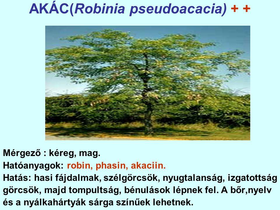 AKÁC(Robinia pseudoacacia) + +