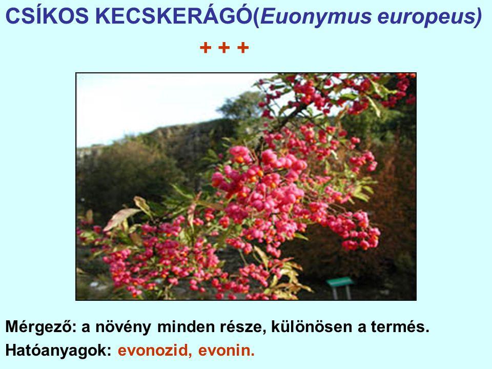 CSÍKOS KECSKERÁGÓ(Euonymus europeus) + + +