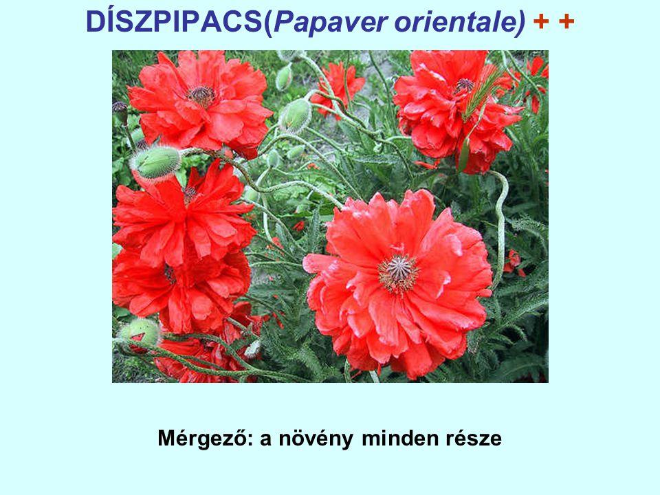 DÍSZPIPACS(Papaver orientale) + + Mérgező: a növény minden része