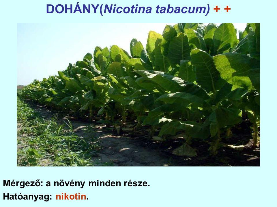 DOHÁNY(Nicotina tabacum) + +