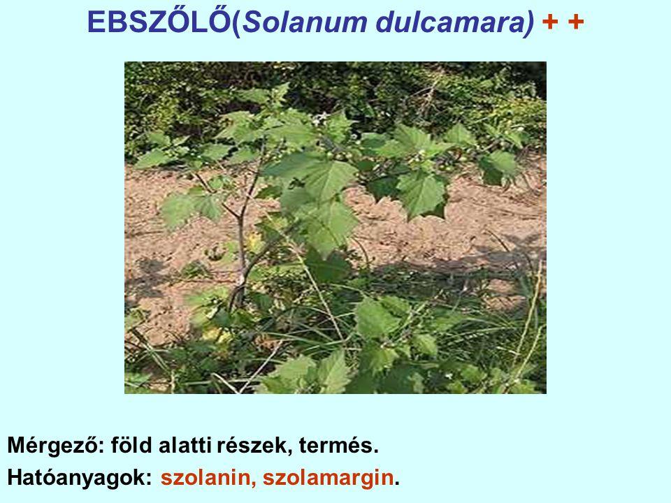 EBSZŐLŐ(Solanum dulcamara) + +