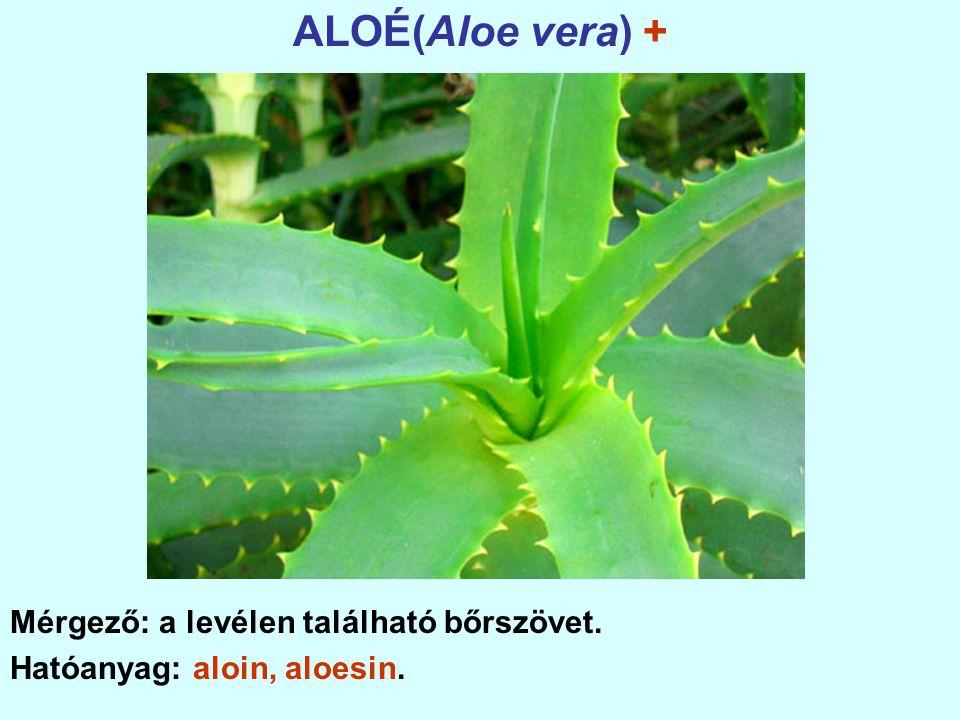 ALOÉ(Aloe vera) + Mérgező: a levélen található bőrszövet.