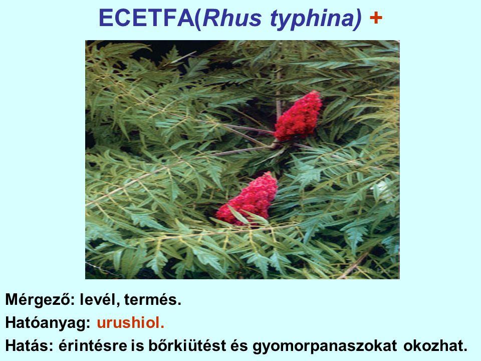 ECETFA(Rhus typhina) +