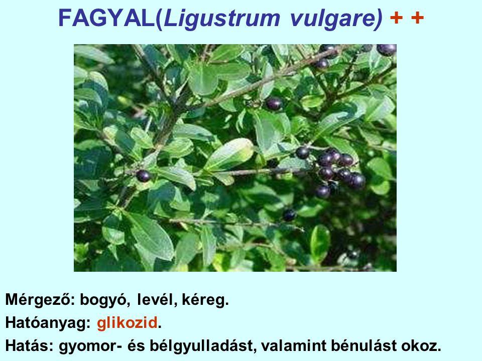FAGYAL(Ligustrum vulgare) + +