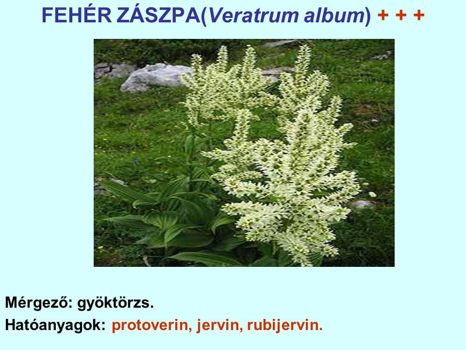 FEHÉR ZÁSZPA(Veratrum album) + + +