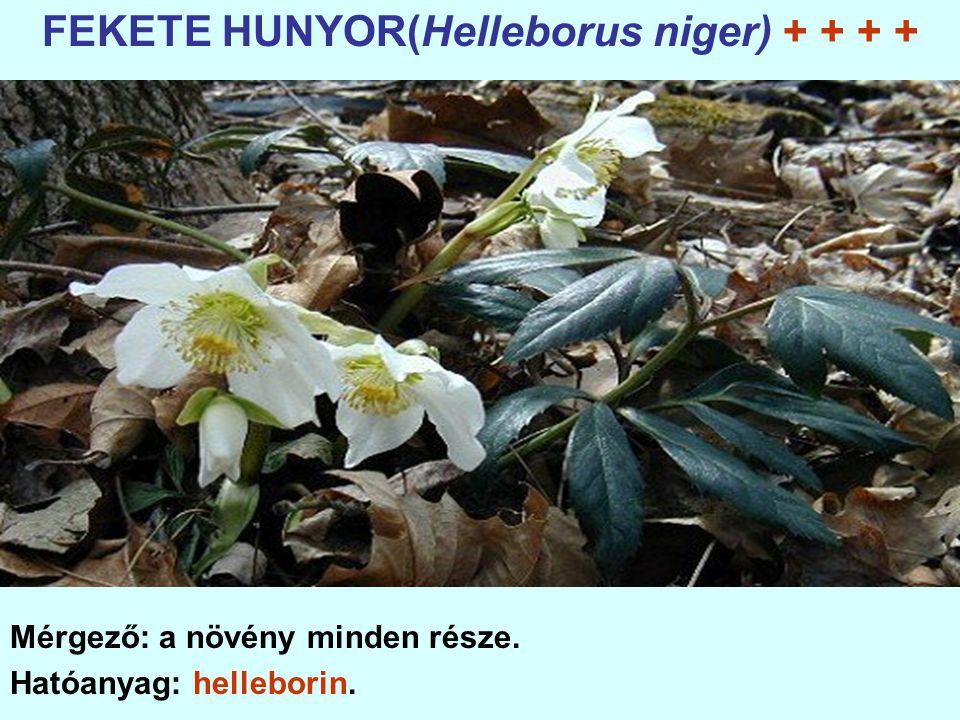 FEKETE HUNYOR(Helleborus niger) + + + +