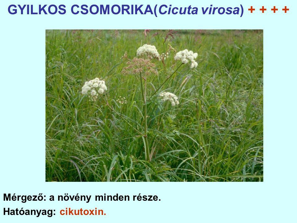 GYILKOS CSOMORIKA(Cicuta virosa) + + + +