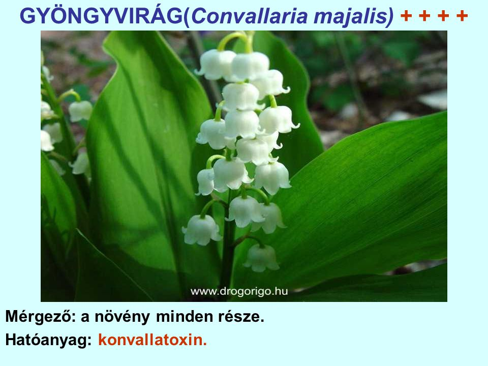 GYÖNGYVIRÁG(Convallaria majalis) + + + +