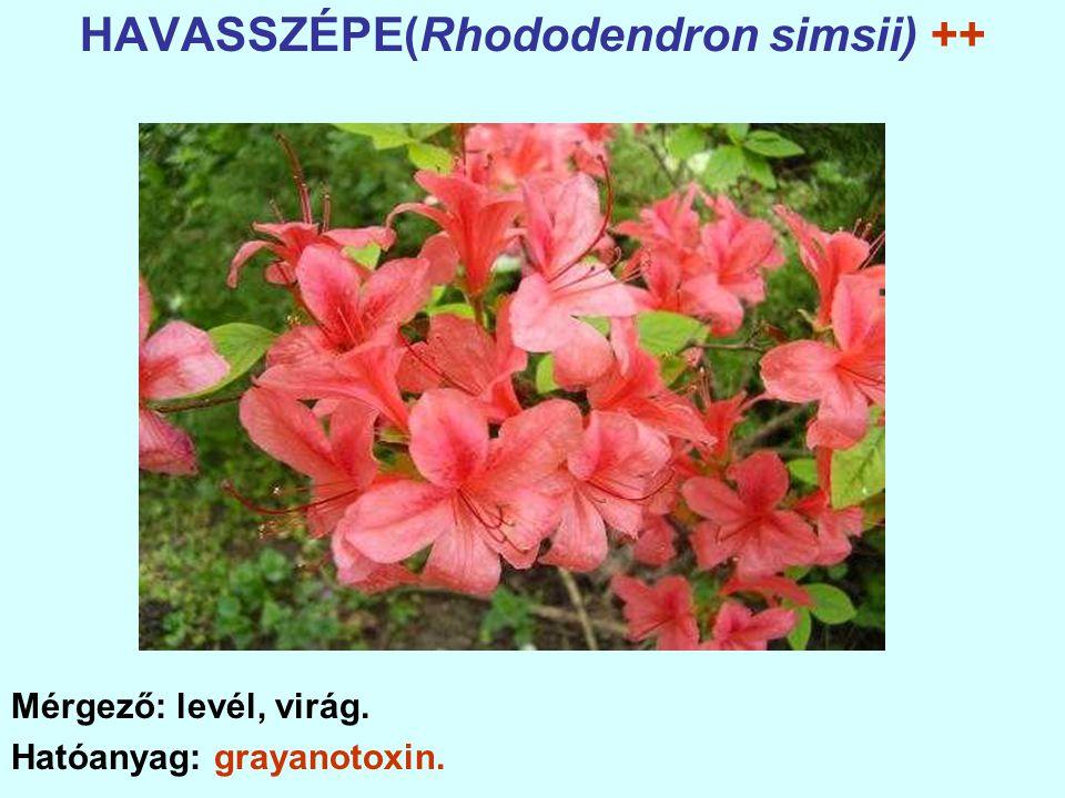 HAVASSZÉPE(Rhododendron simsii) ++