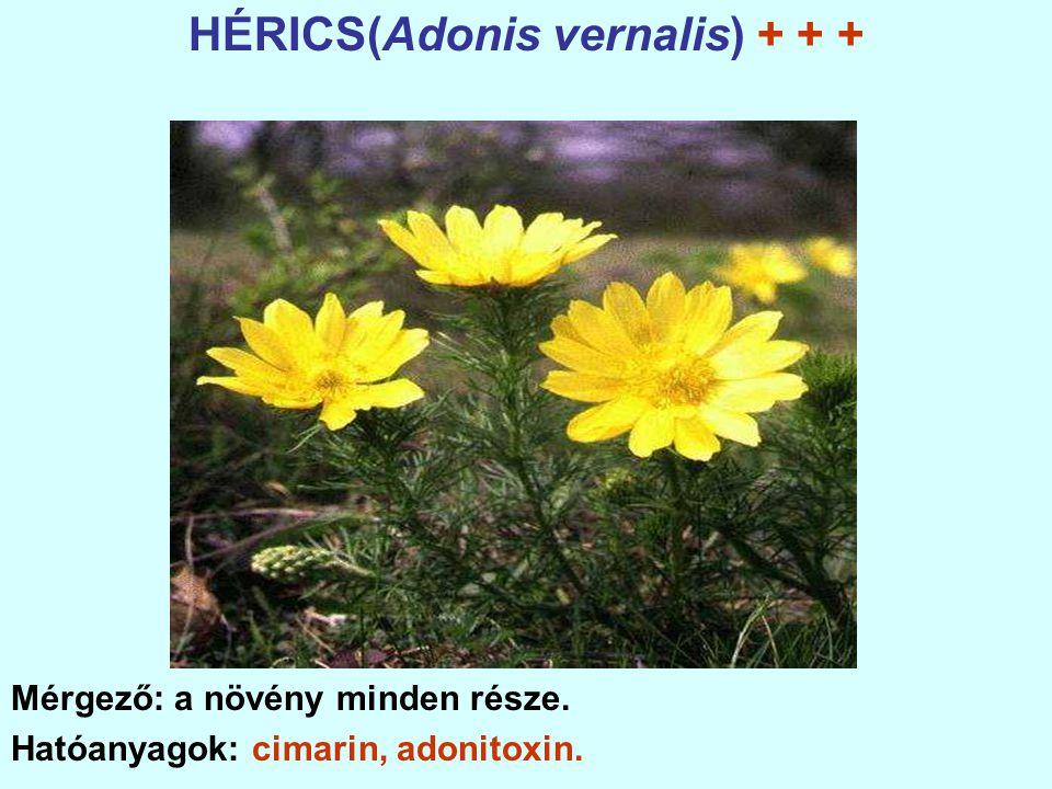 HÉRICS(Adonis vernalis) + + +