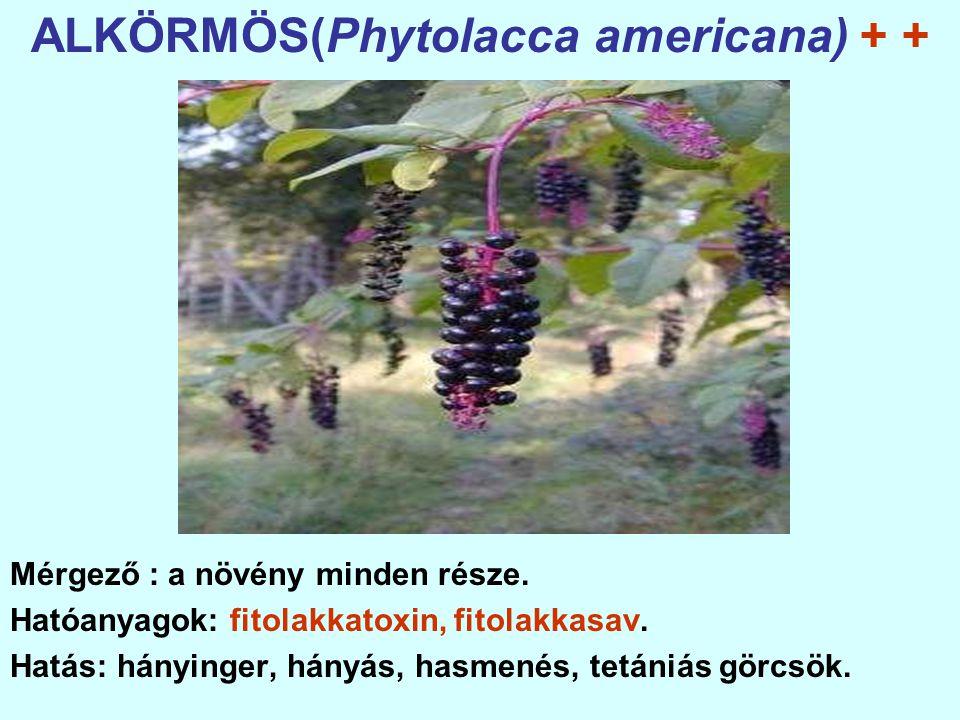 ALKÖRMÖS(Phytolacca americana) + +