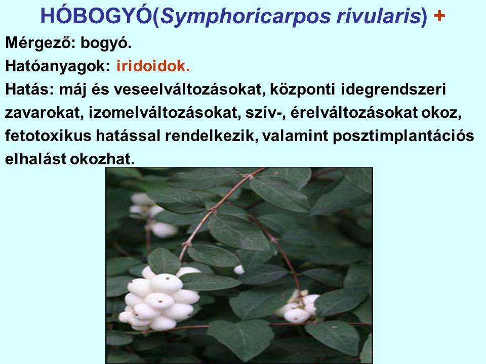HÓBOGYÓ(Symphoricarpos rivularis) +