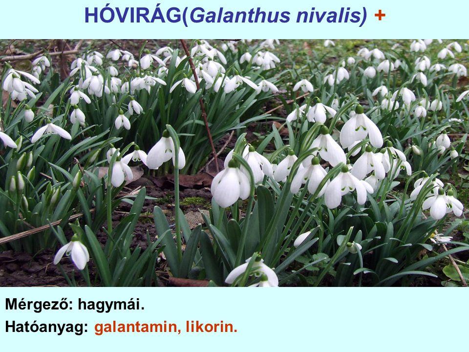 HÓVIRÁG(Galanthus nivalis) +