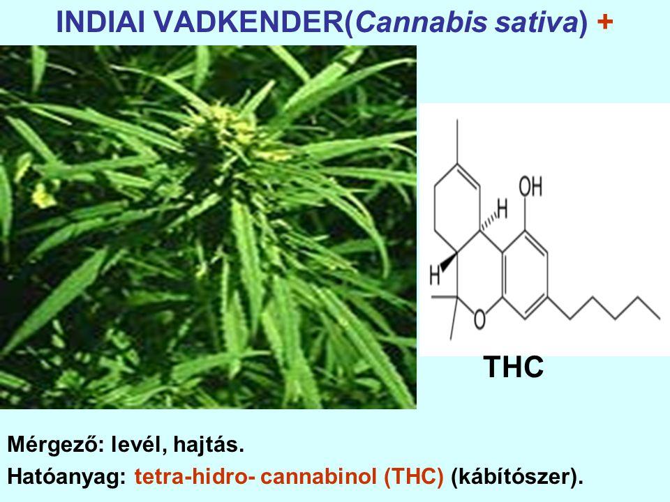 INDIAI VADKENDER(Cannabis sativa) +