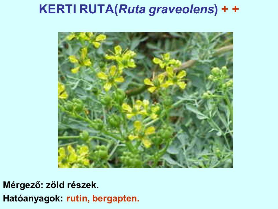 KERTI RUTA(Ruta graveolens) + +
