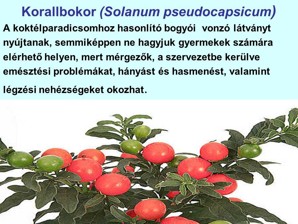 Korallbokor (Solanum pseudocapsicum)