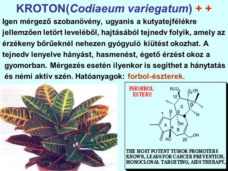 KROTON(Codiaeum variegatum) + +