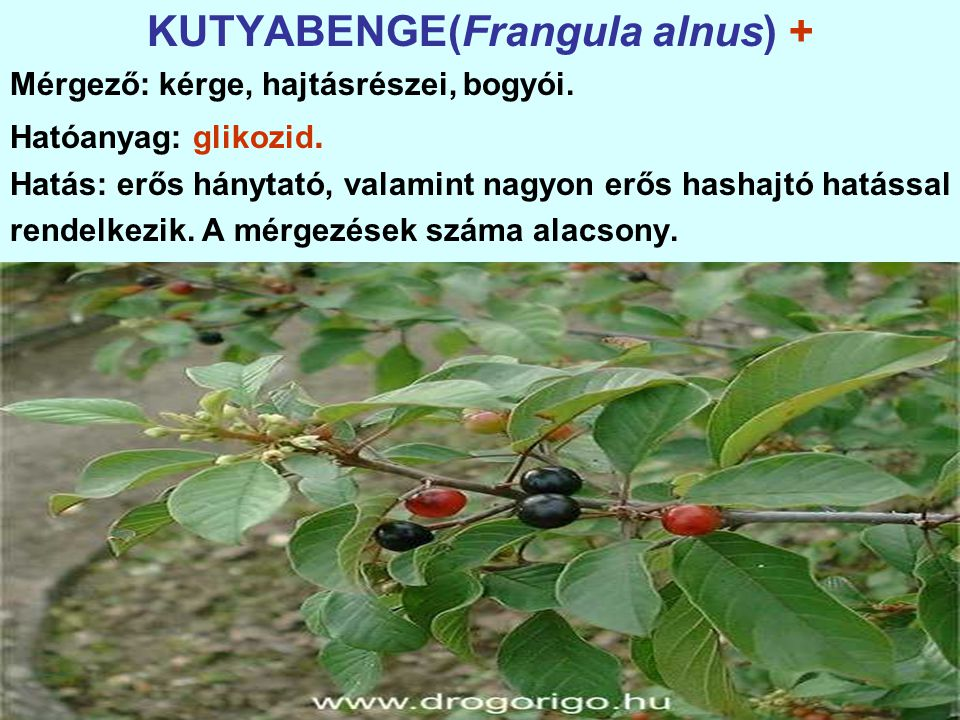 KUTYABENGE(Frangula alnus) +