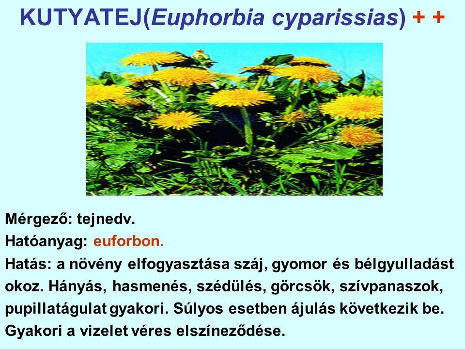 KUTYATEJ(Euphorbia cyparissias) + +
