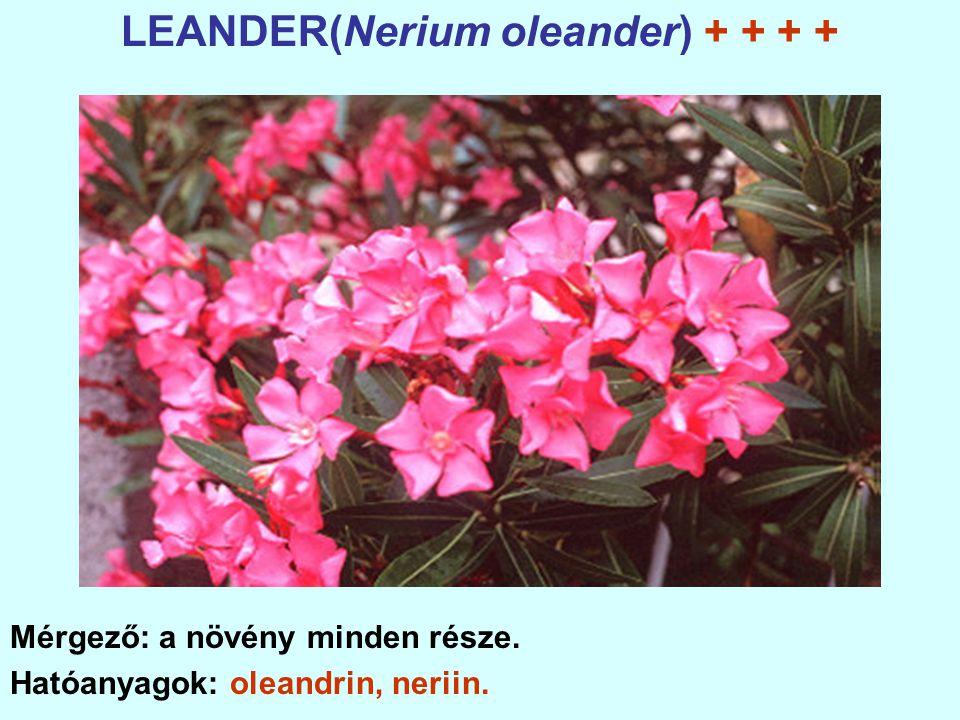 LEANDER(Nerium oleander) + + + +