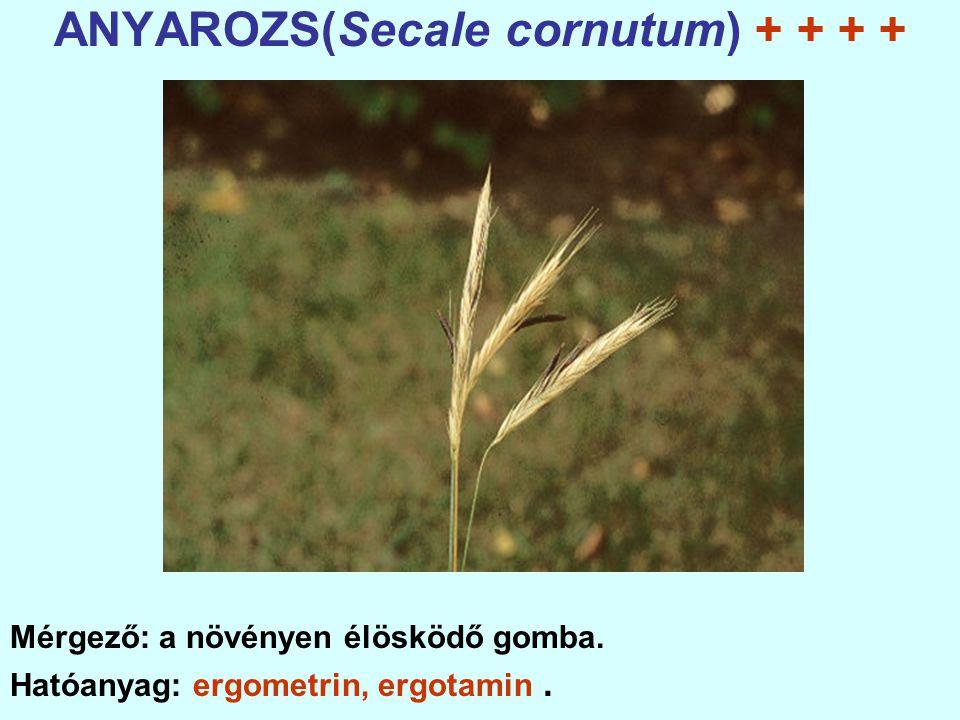 ANYAROZS(Secale cornutum) + + + +