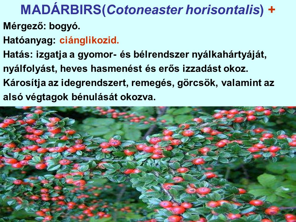 MADÁRBIRS(Cotoneaster horisontalis) +