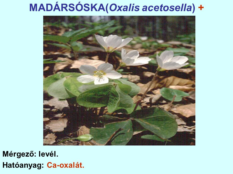 MADÁRSÓSKA(Oxalis acetosella) +