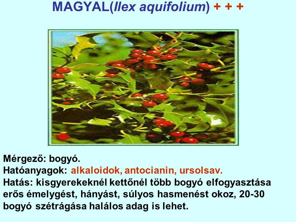 MAGYAL(Ilex aquifolium) + + +