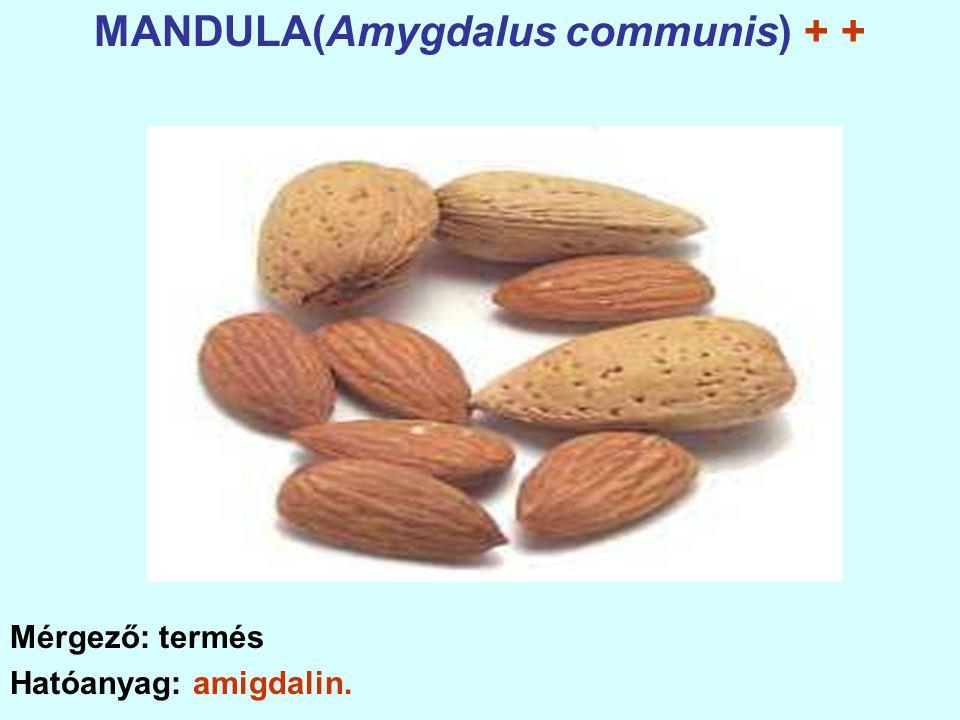 MANDULA(Amygdalus communis) + +