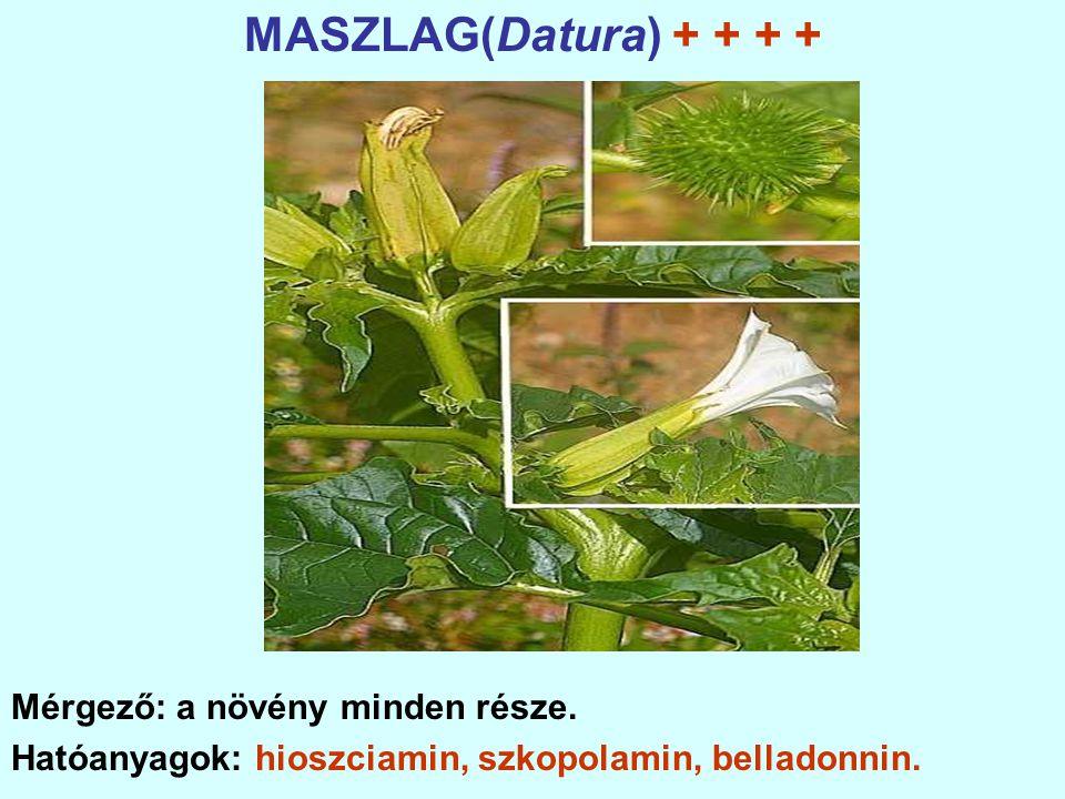 MASZLAG(Datura) + + + + Mérgező: a növény minden része.