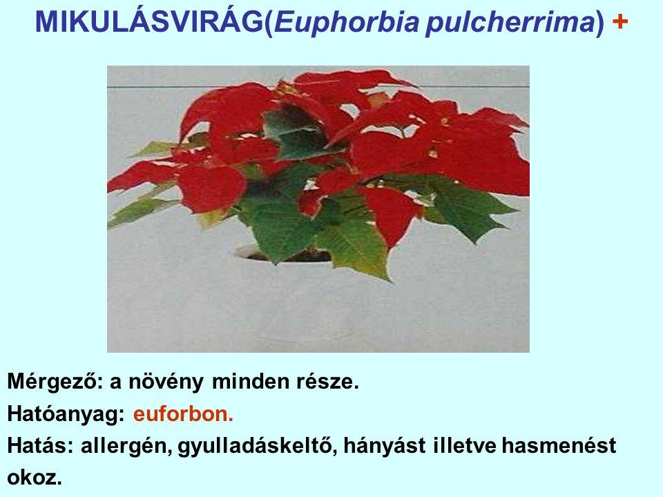 MIKULÁSVIRÁG(Euphorbia pulcherrima) +