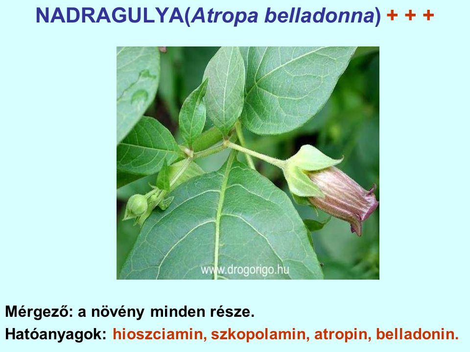 NADRAGULYA(Atropa belladonna) + + +