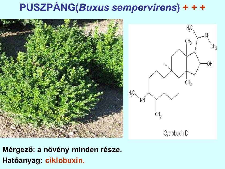 PUSZPÁNG(Buxus sempervirens) + + +