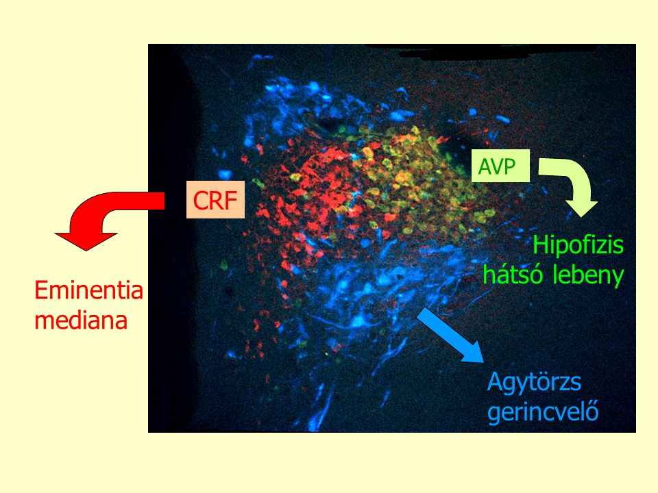 AVP CRF Hipofizis hátsó lebeny Eminentia mediana Agytörzs gerincvelő