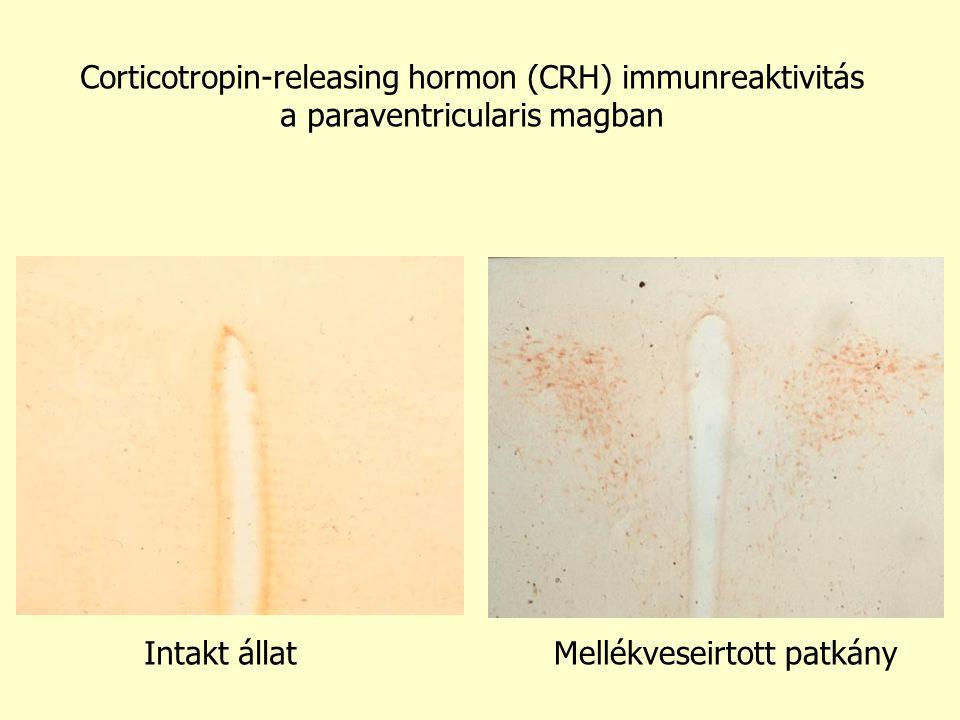 Corticotropin-releasing hormon (CRH) immunreaktivitás