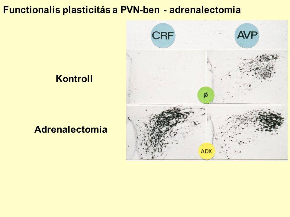 Functionalis plasticitás a PVN-ben - adrenalectomia