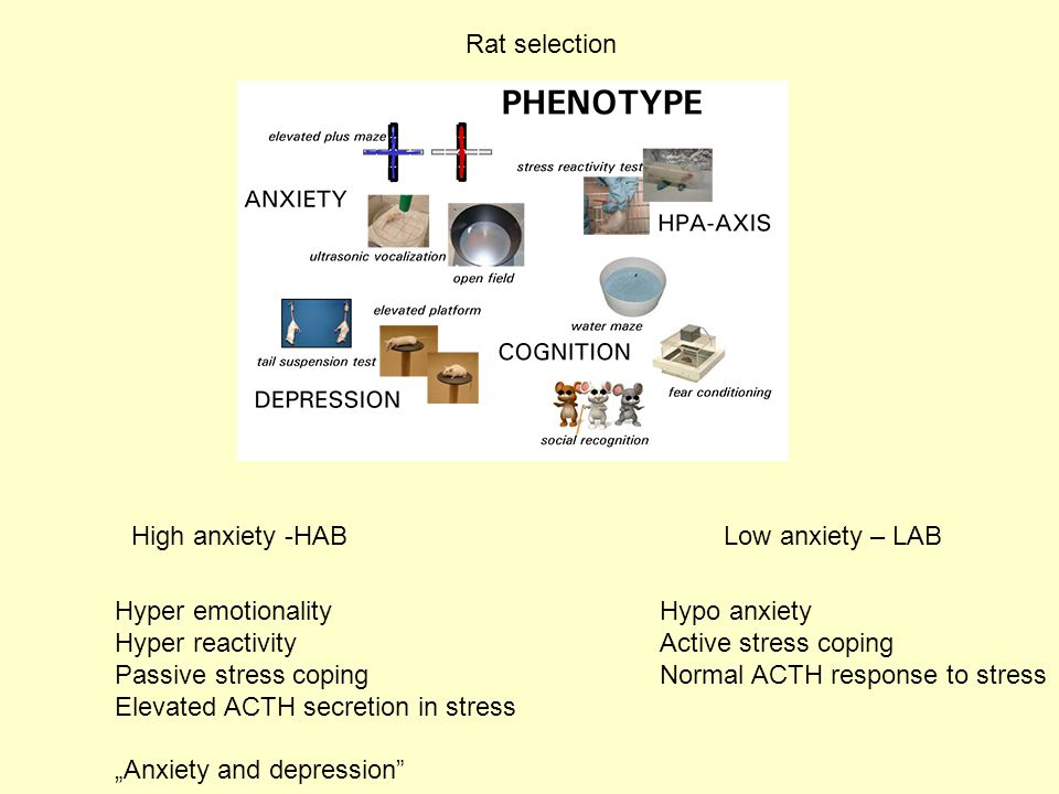 Rat selection High anxiety -HAB. Low anxiety – LAB. Hyper emotionality. Hyper reactivity. Passive stress coping.