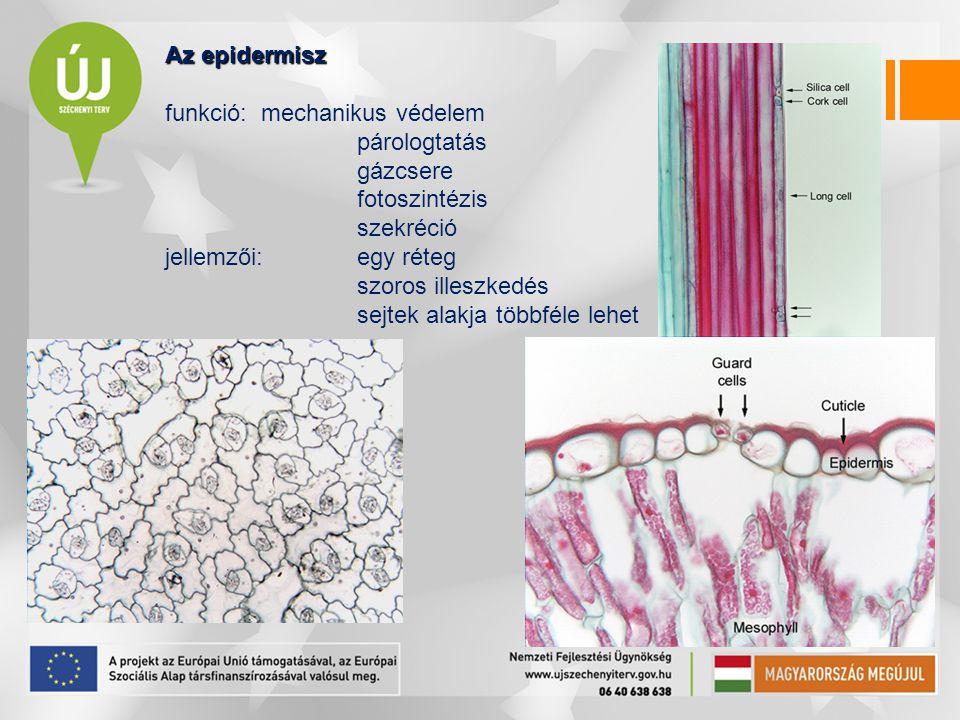 Az epidermisz funkció: mechanikus védelem. párologtatás. gázcsere. fotoszintézis. szekréció. jellemzői: egy réteg.