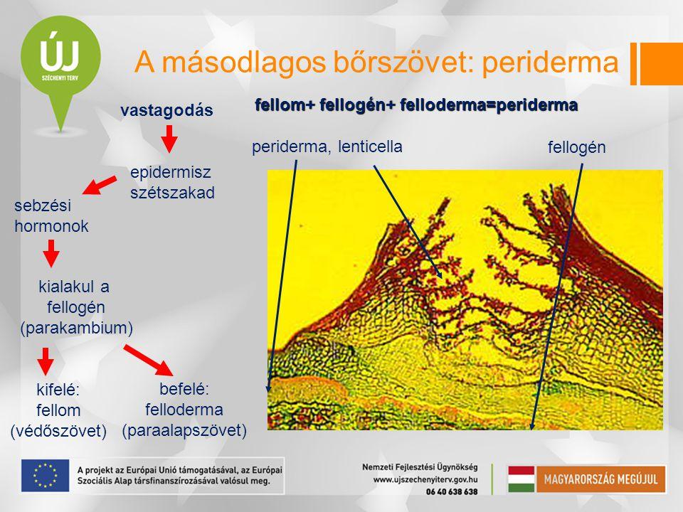 A másodlagos bőrszövet: periderma