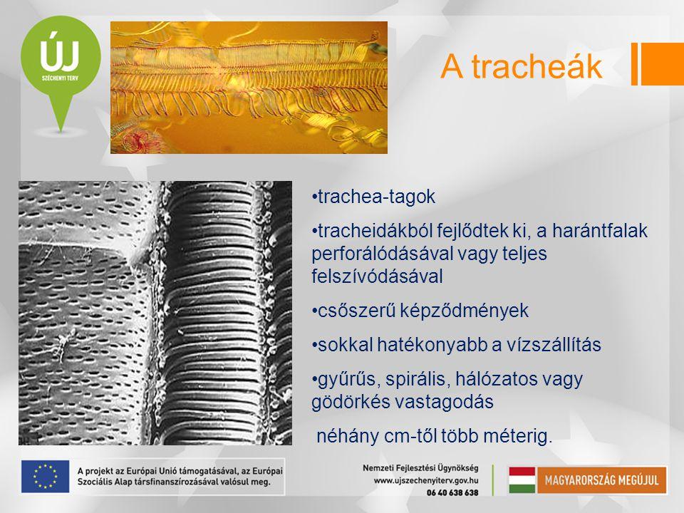 A tracheák trachea-tagok