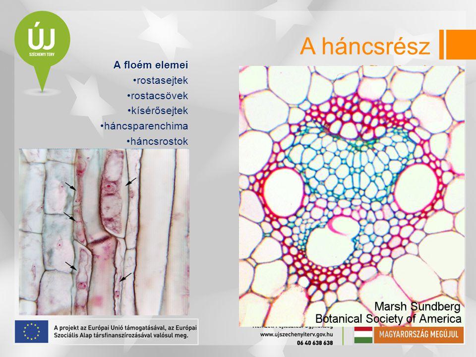 A háncsrész (floém) A floém elemei rostasejtek rostacsövek