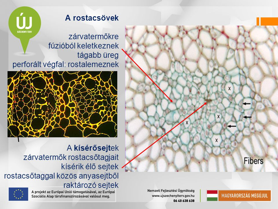 A rostacsövek zárvatermőkre. fúzióból keletkeznek. tágabb üreg. perforált végfal: rostalemeznek.