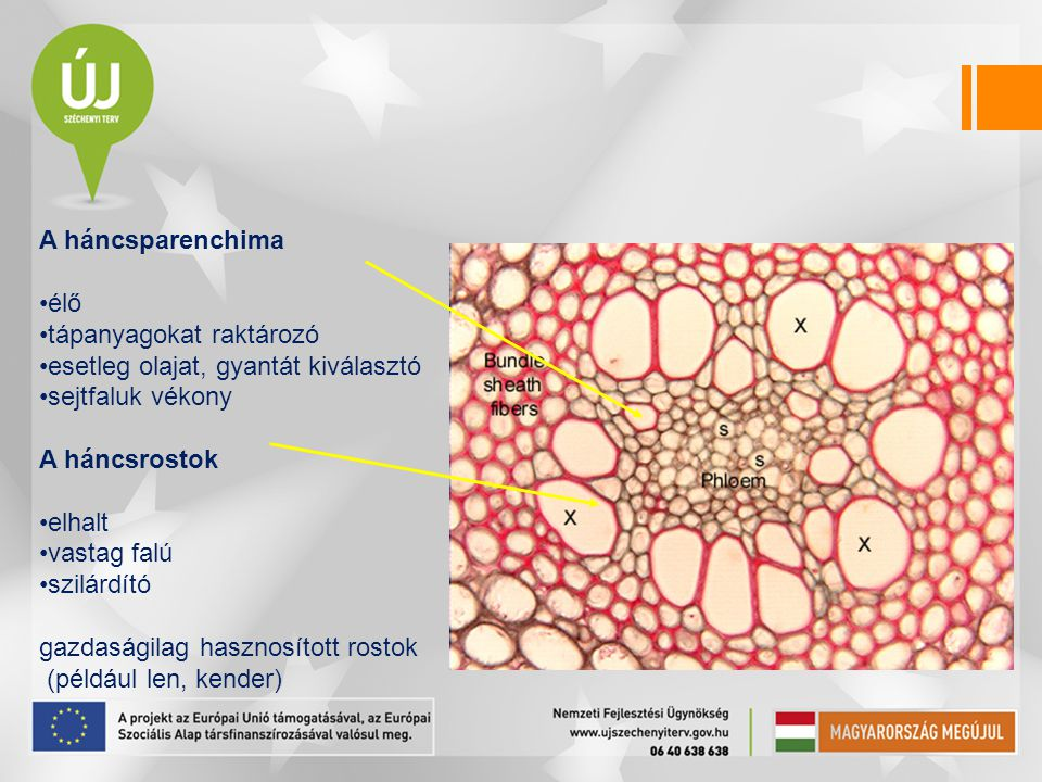 A háncsparenchima élő. tápanyagokat raktározó. esetleg olajat, gyantát kiválasztó. sejtfaluk vékony.