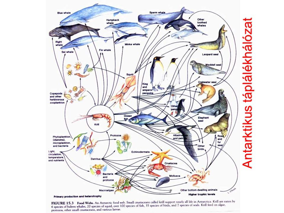Antarktikus táplálékhálózat
